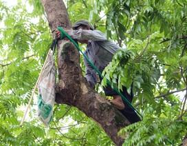 """""""Người nhện"""" đu mình trên cây hái sấu non, kiếm bạc triệu ngày"""