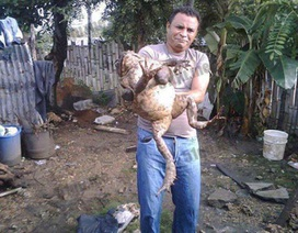 Hết hồn với loài ếch khổng lồ, to như đứa trẻ được giới nhà giàu yêu thích