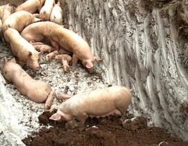 Dịch tả lợn châu Phi hoành hành, cuối năm có lo thiếu thịt lợn?