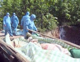 Phú Yên: Phát hiện ổ dịch tả lợn Châu Phi đầu tiên