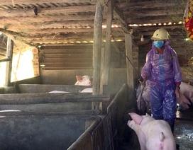 Phú Yên: Phát hiện thêm 2 ổ bệnh dịch tả lợn Châu Phi