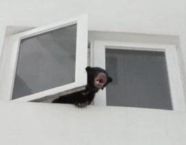 Nuôi gấu sắp tuyệt chủng trong nhà lại cứ nghĩ là nuôi... chó