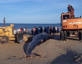 Cá voi khủng nặng hơn 2 tấn dạt vào bờ biển Khánh Hòa