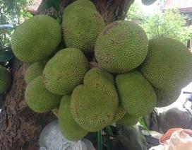 Cây mít gần trăm tuổi cho hơn trăm quả, có 1 không 2 đất Hà Nội