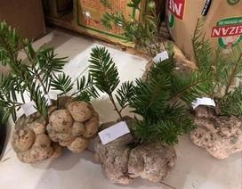 Vì sao một cây nấm giá 10 triệu đồng, người Việt vẫn đổ tiền mua?