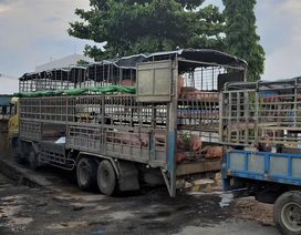 Xử phạt tài xế chở lợn nhiễm bệnh bán dọc đường
