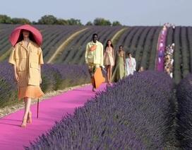 Xao xuyến trước sàn catwalk nằm giữa cánh đồng hoa oải hương