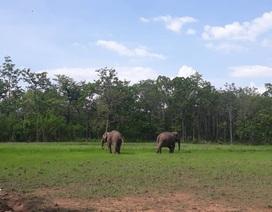 """""""Trả tự do"""" cho 2 chú voi nhà ở Đắk Lắk"""
