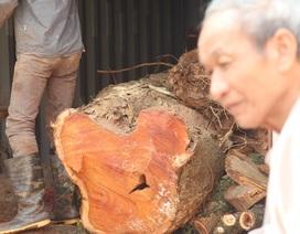 """Tiếp tục bán đấu giá lô gỗ sưa """"trăm tỷ"""" ở Hà Nội"""