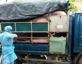 Bắt giữ xe tải chở 1,6 tấn lợn từ vùng dịch không có giấy tờ kiểm dịch