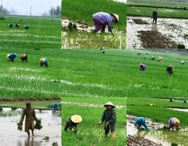 Bão số 2: Nông dân đội mưa ra đồng chăm sóc lúa kịp cho thời vụ