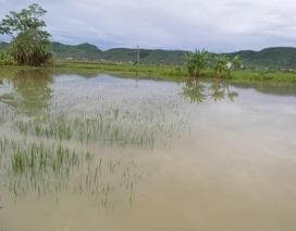 Ngã xuống ruộng lúa ngập nước sau trận mưa lớn, bé 22 tháng tuổi tử vong