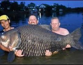 """Vật lộn hàng giờ để tóm gọn cá chép """"siêu khủng"""" nặng 105 kg"""