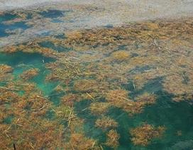 Phát hiện ra thảm rong biển lớn nhất trên thế giới