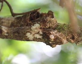 """Ấn tượng trước khả năng """"tàng hình"""" của loài tắc kè Madagascar"""