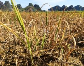 Nhiều hộ dân điêu đứng vì lúa chết sau khi phun thuốc trừ cỏ