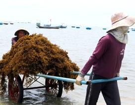 Nhọc nhằn nghề hái rong mơ ở Quảng Nam