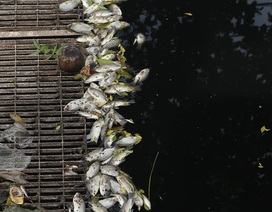 Cá chết nổi trên sông Tô Lịch sau khi dừng nhận nước từ Hồ Tây