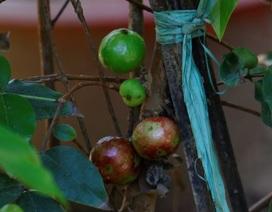 """Bán cây nho lạ có quả mọc từ thân, giá 3 triệu đồng vẫn """"cháy hàng"""""""