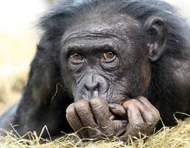 Vì sao không phải loài linh trưởng nào cũng tiến hóa thành người?