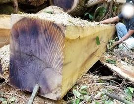 """Phát hiện vụ phá rừng """"khủng"""" với hơn 200 gốc bị đốn hạ"""