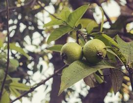 8 lợi ích sức khỏe tuyệt vời của lá ổi