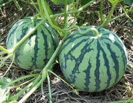 """8,1 kg hạt giống dưa hấu """"xuất ngoại"""" sang Nhật Bản"""
