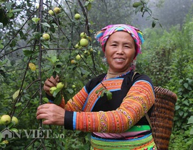 Tỷ phú người Mông làm giàu nhờ giống táo bé tí trên rẻo cao mây mù
