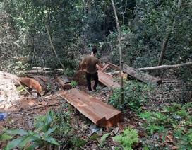 Lâm tặc phá rừng, kiểm lâm phải thuê hàng chục người cõng gỗ về xử lý