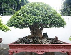 """Mê tít bằng lăng hình nấm """"khổng lồ"""" giá hàng tỷ đồng của đại gia Phú Thọ"""
