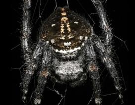 Tiết lộ bí mật của loài nhện tạo ra sợi tơ bền nhất thế giới