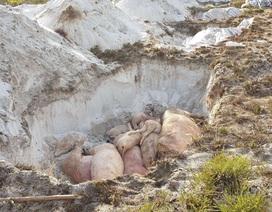 Muốn được tiêu hủy lợn dịch tả Châu Phi, dân phải đóng tiền!