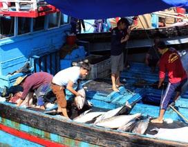 Phú Yên: 145  tàu cá nằm bờ giữa mùa cá ngừ vì ...chiều dài dưới 15 m