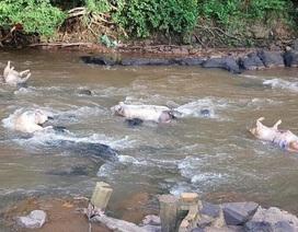 Đồng Nai: Tái diễn cảnh tràn lan vứt xác lợn chết chưa xử lý ra môi trường