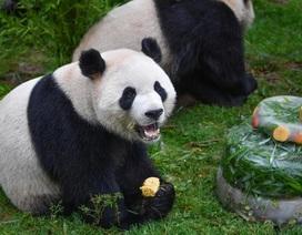 Sở thú lấy phân gấu trúc làm quà tặng cho du khách