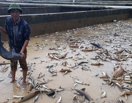 Xót xa hàng trăm tấn cá tầm trôi theo dòng nước lũ