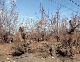 Hàng trăm ha rừng phòng hộ chết khô vì nắng hạn