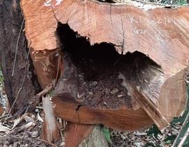 Rừng nguyên sinh Vườn quốc gia Pù Mát bị xâm hại