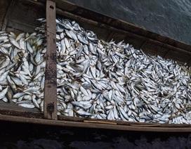 3 người dân trúng gần 2 tấn cá mòi trên sông Thạch Hãn