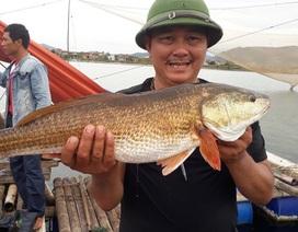 Câu được cá nghi sủ vàng nặng 7kg trên sông Gianh