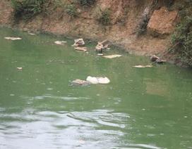 """Trang trại lợn """"tra tấn"""" người dân: Ngang nhiên xả thải, vứt xác lợn chết từ đầu nguồn nước"""