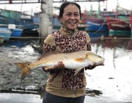Thêm cặp cá nghi sủ vàng nặng 7kg sa lưới trên sông Loan