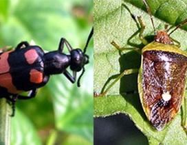 Dân đổ xô đi săn bắt loài côn trùng cực độc, ăn một con có thể chết người