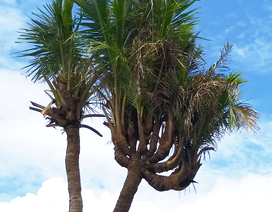 """Chiêm ngưỡng cây dừa """"lạ"""" có nhiều ngọn trông như bàn tay người"""