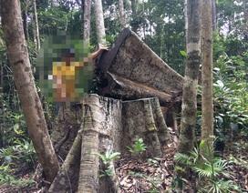 Tiếng thét đau đớn của rừng Tây Nguyên: Chính kẻ nhận tiền giữ rừng... phá rừng!