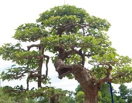 Ngắm cây hoa giấy bonsai được tạo tác như thác đổ