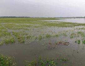 Hàng ngàn ha lúa hè thu chìm trong biển nước vì mưa lớn kéo dài