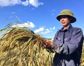 Nông dân ngậm ngùi gặt lúa về… cho gà ăn