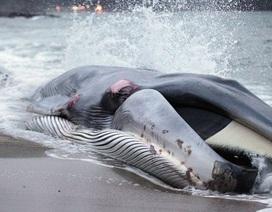 Cá voi mắc cạn ngày càng tăng dọc bờ biển nước Anh