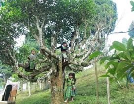 Cảnh báo cho người nước ngoài thuê cây chè cổ thụ ở Hà Giang